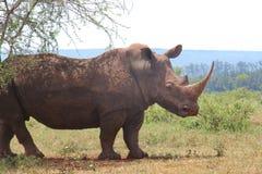 Witte Rinoceros Stock Afbeelding