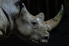 Witte Rinoceros Royalty-vrije Stock Afbeeldingen