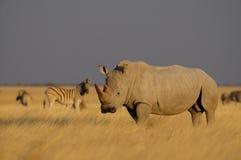 Witte Rinoceros Royalty-vrije Stock Foto