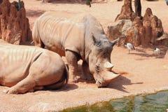 Witte rinoceros in biopark Valencia, Spanje Stock Afbeelding