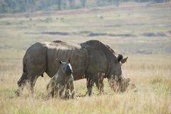 Witte rinoceros (Ceratotherium-simum) met baby stock afbeeldingen