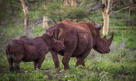 Witte rinoceros in de Afrikaanse struik stock afbeeldingen