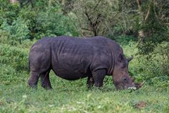 Witte rinoceros in de wildernis Royalty-vrije Stock Afbeeldingen
