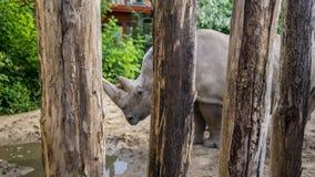Witte rinoceros die droevig in gevangenschap voelen stock fotografie