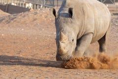 Witte Rinoceros die een eis voor zijn gras maken! royalty-vrije stock afbeelding