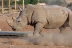 Witte Rinoceros die een eis voor zijn gras maken! royalty-vrije stock foto