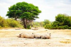 Witte Rinoceros drie in Afrika Stock Afbeeldingen