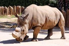 Witte rinoceros in gevangenschap Royalty-vrije Stock Afbeelding