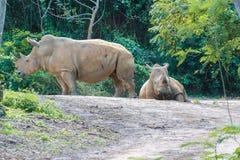 Witte rinoceros op een savanne Royalty-vrije Stock Foto's