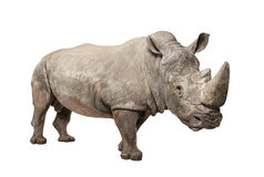 Witte Rinoceros - simum Ceratotherium (+/- 10 jaar) Stock Foto