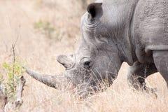 Witte Rinoceros (simum Ceratotherium) Stock Foto's