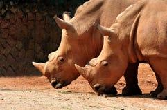 Witte Rinoceros twee Stock Afbeelding