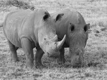 Witte rinoceros twee in sepia Stock Afbeeldingen
