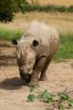 Witte rinocerosfoto Royalty-vrije Stock Foto's