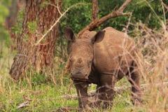 Witte rinocerosjongelui in de wildernis Royalty-vrije Stock Foto's
