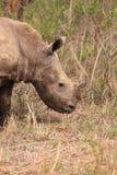 Witte rinocerosjongelui in de wildernis Royalty-vrije Stock Fotografie