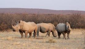 Witte Rinocerossen Royalty-vrije Stock Afbeeldingen