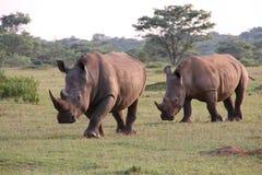 Witte Rinocerossen die DJE lopen Stock Afbeelding