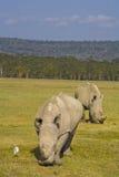 Witte rinocerossen die in nakuru weiden stock foto