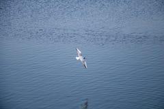 Witte riviermeeuw die over het water vliegen royalty-vrije stock afbeelding