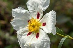 Witte rockrose die bij zon 4 staren Stock Foto