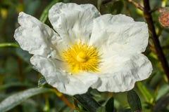 Witte rockrose die bij zon 5 staren Stock Afbeeldingen