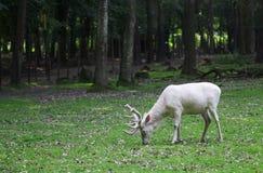 Witte rode herten die het gras in het bos eten Stock Foto