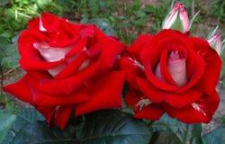 Witte rood nam in tuin toe Stock Afbeeldingen