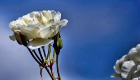 Witte Rose Against The Blue Sky Royalty-vrije Stock Foto