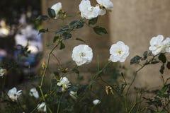 Witte Rose Garden bij Schemering Royalty-vrije Stock Fotografie