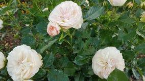Witte Rose& x27; s is fijn als dride stock afbeelding