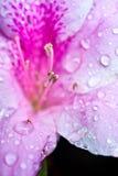 Witte roze bloem met dauw Royalty-vrije Stock Fotografie