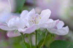 Witte roze bloemen op een boomclose-up royalty-vrije stock afbeeldingen