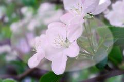 Witte roze bloemen op een boomclose-up stock fotografie