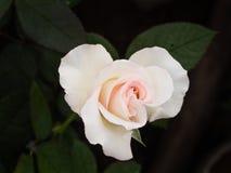 Witte roze nam toe royalty-vrije stock afbeeldingen
