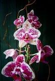 Witte & Roze/Purpere Phalaenopsis-Orchideeregeling Stock Afbeeldingen