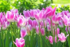 Witte/Roze Tulpen Royalty-vrije Stock Afbeeldingen