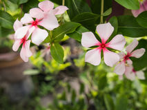 Witte Roze Vinca Flowers Hanging stock afbeeldingen