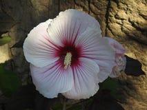 Witte roze wilde bloem royalty-vrije stock foto's