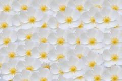 Witte rozebottelsachtergrond Royalty-vrije Stock Afbeelding