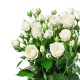 Witte rozen Royalty-vrije Stock Afbeeldingen