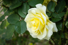 Witte rozen Royalty-vrije Stock Foto's