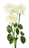 Witte rozen die op de witte achtergrond worden geïsoleerde Stock Afbeeldingen