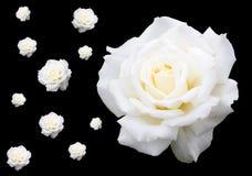 Witte rozen op zwarte Stock Foto