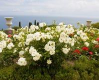 Witte rozen in tuin op overzeese kust stock afbeelding