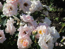 Witte rozen van een parktuin Stock Afbeelding