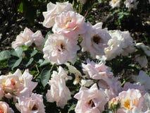 Witte rozen van een parktuin Royalty-vrije Stock Foto