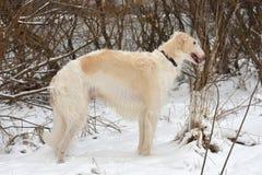 Witte Russische Barzoi Royalty-vrije Stock Foto's