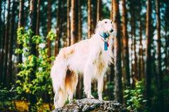 Witte Russische Barzoi, Jachthond die zich op een rots in de zomerbos bevinden royalty-vrije stock foto