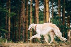 Witte Russische Barzoi, sighthound, gazehound royalty-vrije stock afbeelding